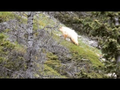 Rare white-phase black bear spotted by hikers in Alberta