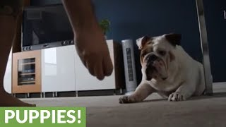Smart bulldog learns how to roll over for treats