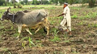Farmer pakistani in Pakistan, Punjab, khan bela