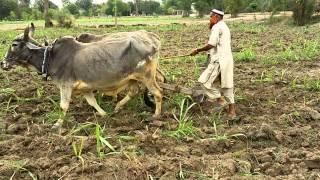 Farmer pakistani in Pakistan, Punjab, khan bela