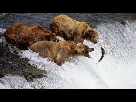 Долина Гризли.  Документальный фильм о медведях Гризли.