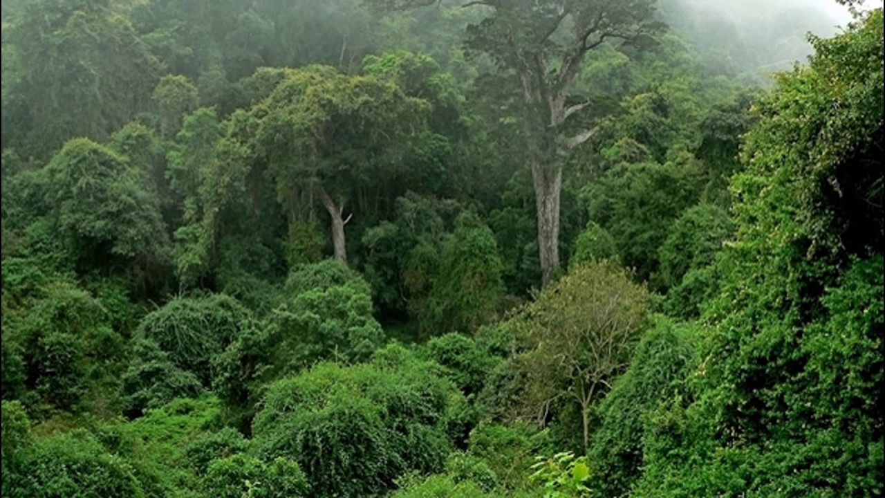 Congo Basin rainforest threatened by palm oil and logging ... |Congo Basin
