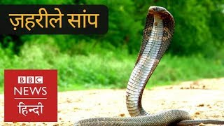 How this Man Catches Poisonous Snakes like King Cobra? (BBC Hindi)