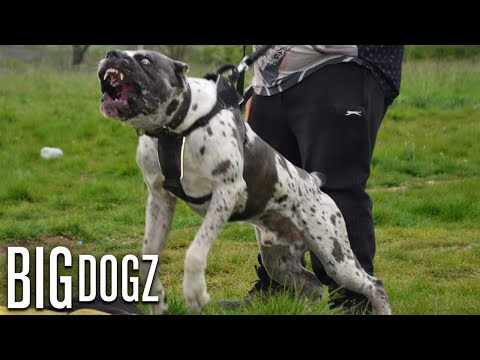 Bandit  The 130lb Mastiff/Great Dane Bandog | BIG DOGZ