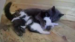 кот папа присматривает за котятами...