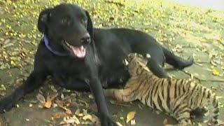 Собака «усыновила» тигрёнка (новости)