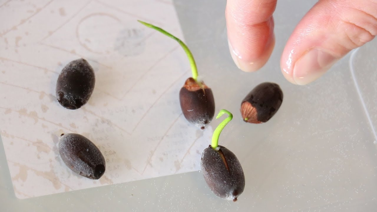 Nocciolo Di Avocado In Acqua recensione fiori di loto blu e vaso in vetro da appendrere semi tutorial  germinazione