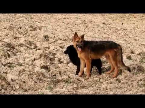 Animal Countryside Australian Shepherd Meeting Labrador Retriever