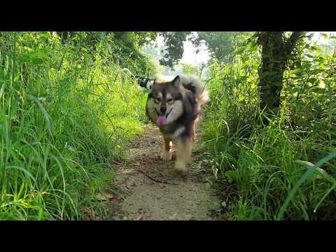 Oslo - Chien finnois de Laponie [Lapinkoira / Finnish Lapphund] - 12 months