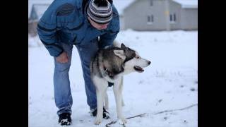 "Real Speaking Husky Dog Talking ""I Love You"" ;)"