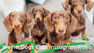 Funny Miniature weiner Dogs Cute instagram videos compilation#NonstopDachshundvideos #sausagedogs