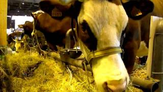 Les vaches sont arrivées à Paris... sur TV28 (extrait).