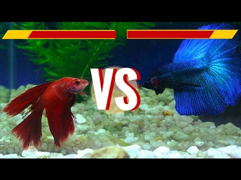 Delta Tail Male & Crowntail Female Betta Fish - Fights & Love