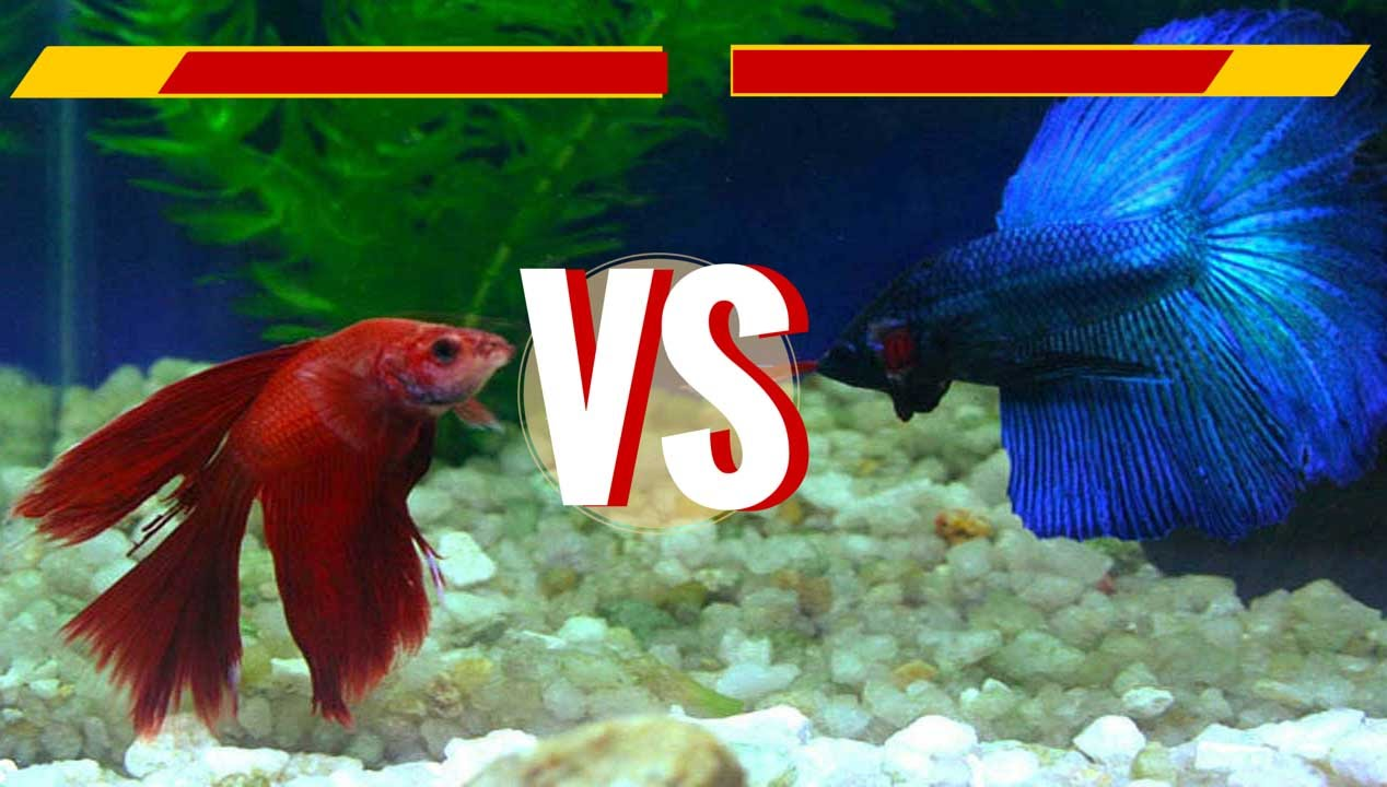 delta tail male crowntail female betta fish fights