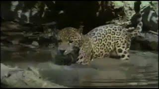 Discovery Channel | Wildlife Animals|Jaguar Documentary