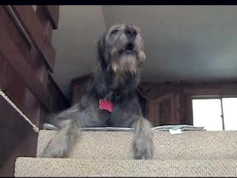 Liam the singing Irish Wolfhound