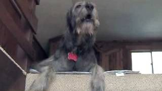 Liam the singing Irish Wolfhound
