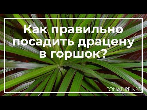 Как правильно посадить драцену в горшок? | toNature.Info