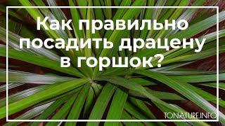 как посадить драцену в горшок?  toNature.Info
