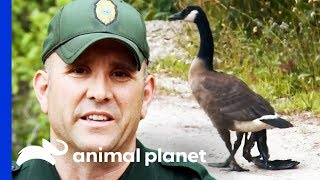 Catching An Injured Goose With A Severely Damaged Wing | North Woods Law