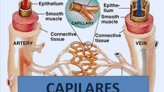Se encuentran capilares linfáticos los donde