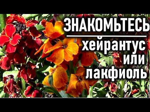 Красивые цветы, цветущие се лето Знакомьтесь ХЕЙРАНТУС ИЛИ ЛАКФИОЛЬ