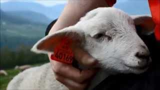 Petting Cutest Lamb Ever