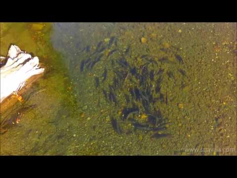Chinook Salmon in the Oyster River, BC