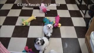Little Rascals Uk Breeders New Litter Of Malshi