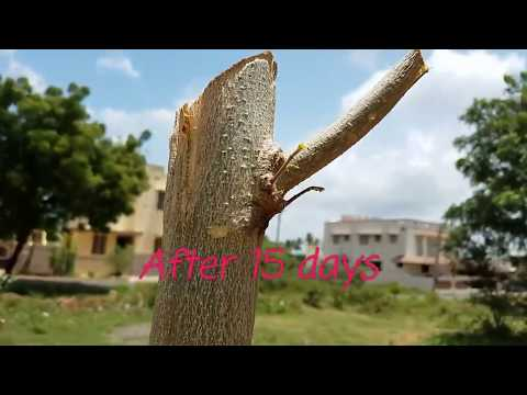 FASTEST METHOD OF GROWING MORINGA TREE.Miracle in growing Mi