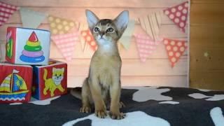 Абиссинский котенок. Мальчик дикого окраса. Питомник Fidget Tail.