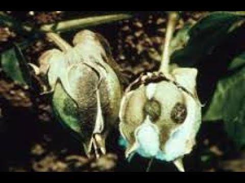 Cotton Anthracnose-कपास में एन्थ्रेक्नोज रोग