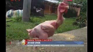 Unik dan Langka, Ayam Bangkok Tanpa Bulu Hidup di Padang - BIP 02/07