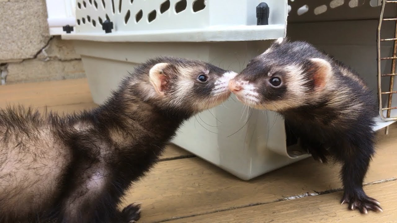 ferret dating site