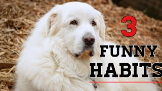 3 habits Great Pyrenees can develop