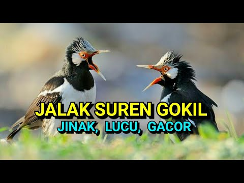 Jalak Suren Gacor ngerol, lucu jinak dan usil