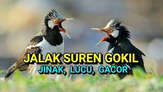 vuclip Jalak Suren Gacor ngerol, lucu jinak dan usil