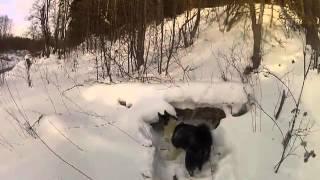 Охота на енота с собакой