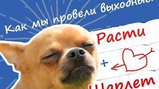 12.VLOG | Едем к невесте свататься. Позитив. Funny Chihuaha dating and mating