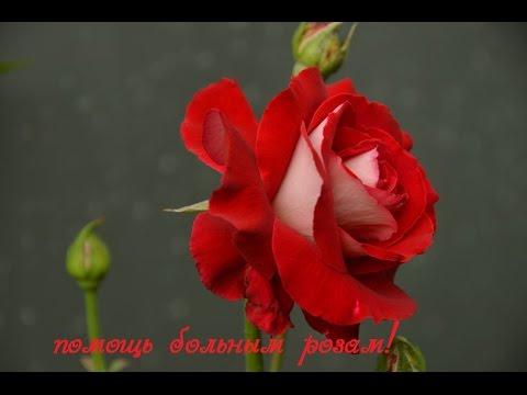 Розы. Вредители на моих розах!