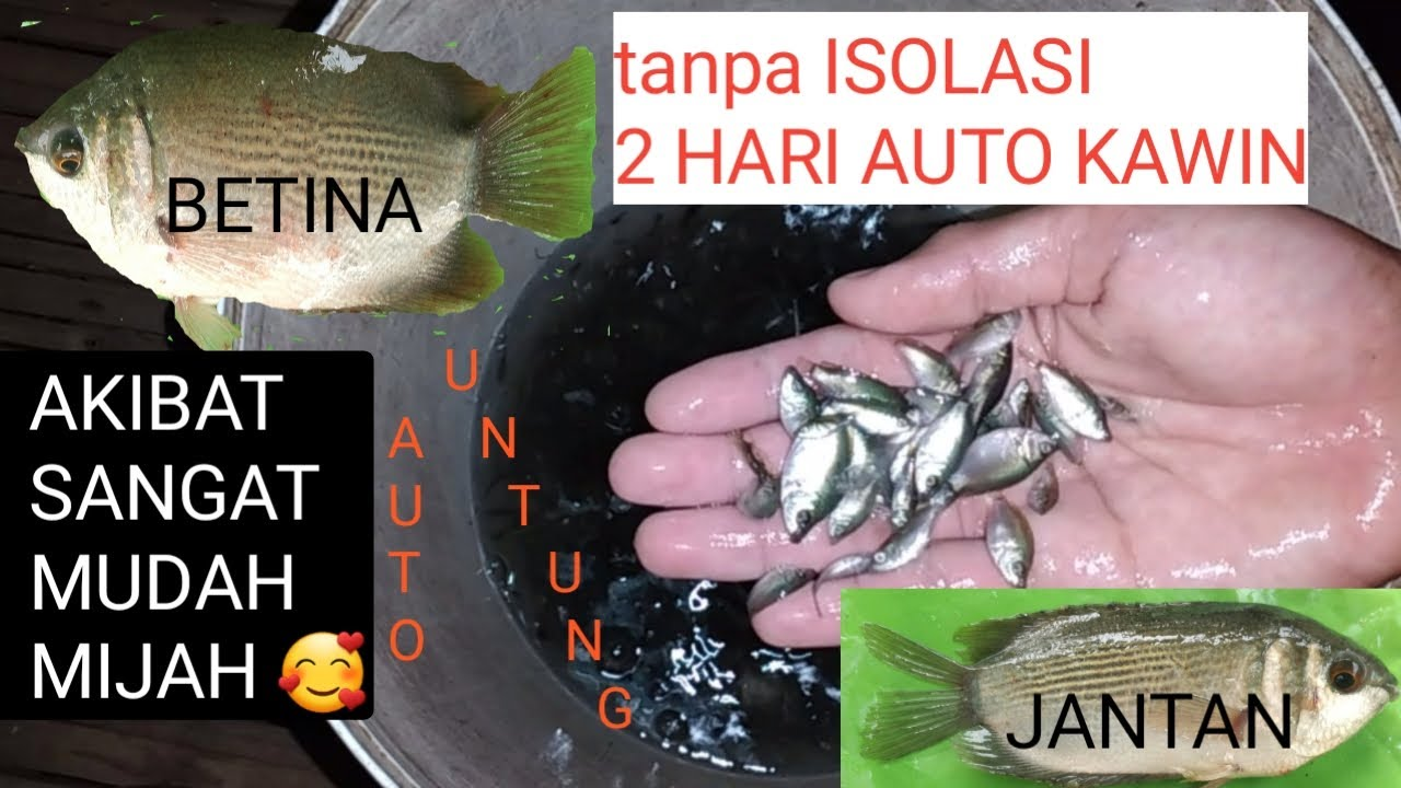 Cara Memijahkan Ikan Tembakang Ikan Tambak Ikan Biawan Ternyata Sangat Mudah Youtube