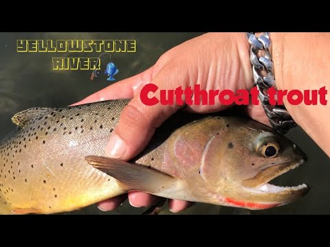 Yellowstone River, Montana fishing for wild trout