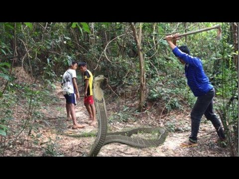King Cobra Attack On Human - Amazing Catching King Cobra In Cambodia