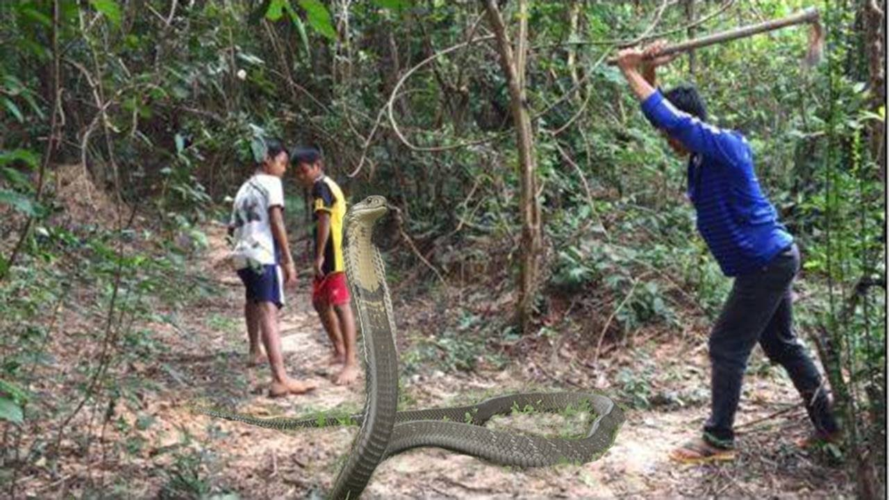 king cobra attack on human amazing catching king cobra