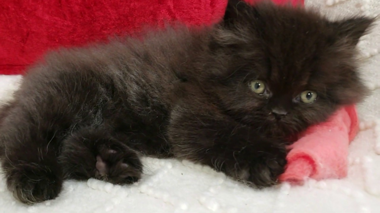Pre-Loved Persian Kittens For Sale - 29 Years Experience!