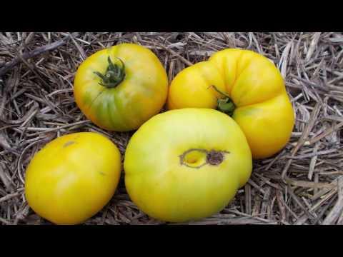 Сорт томата Ананасный