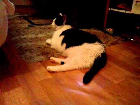 Кот скребет лапой