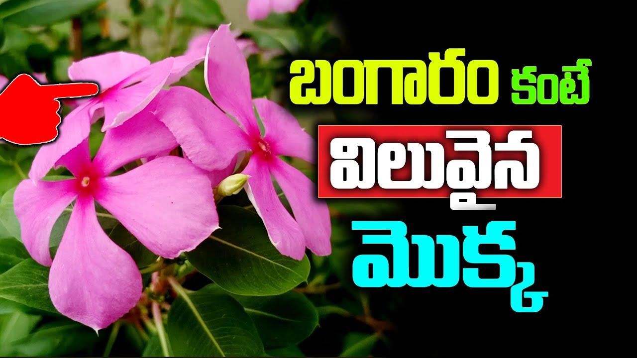 బంగారం కంటే విలువైన ఈ మొక్కను అస్సలు వదిలిపెట్టకండి    billa ganneru plant uses in telugu #kskhome