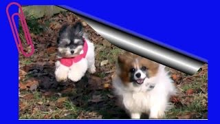 Puppy Training 9: Lilly Havanese, Off Leash Distraction Training