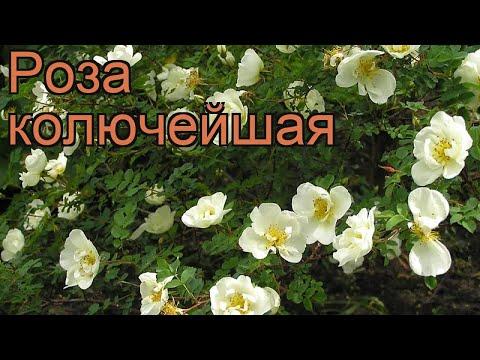 Роза колючейшая (rosa pimpinellifolia) 🌿 колючейшая роза обзор: как сажать, саженцы розы